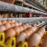 Pekerja mengambil telur ayam, di Desa Sindangrasa, Kabupaten Ciamis, Jawa Barat, Kamis 23 September. (Antara Foto/Adeng Bustomi)