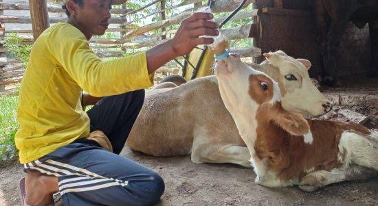 Ayem memberi makan anakan sapi unik berkaki dua. Foto Ist.